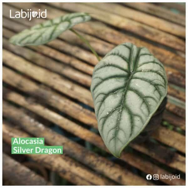 Limited Stocks Alocasia Silver Dragon