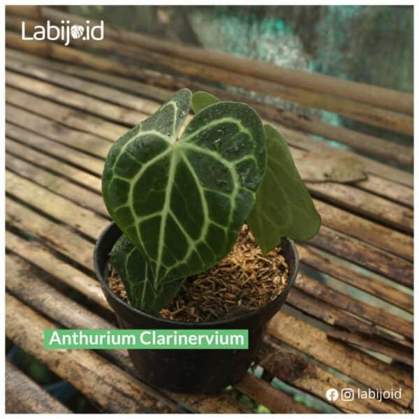 Anthurium Clarinervium is on sale