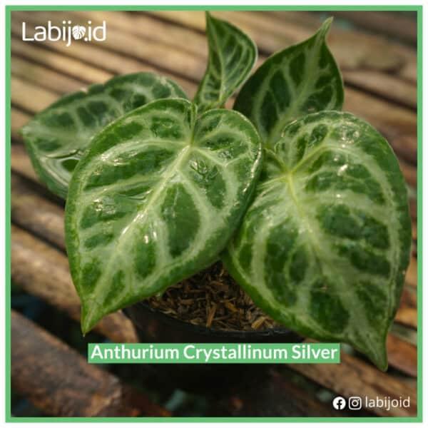 Beautiful Anthurium Crystallinum Silver for bargain