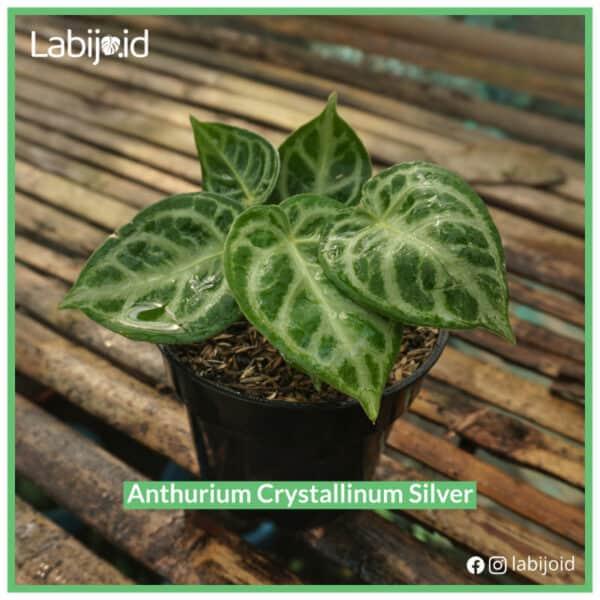 Anthurium crystallinum Silver for bargain