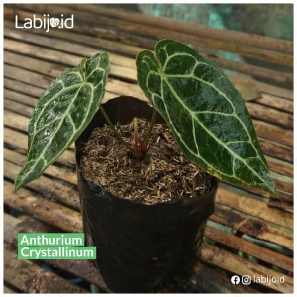 Sale Anthurium Crystallinum