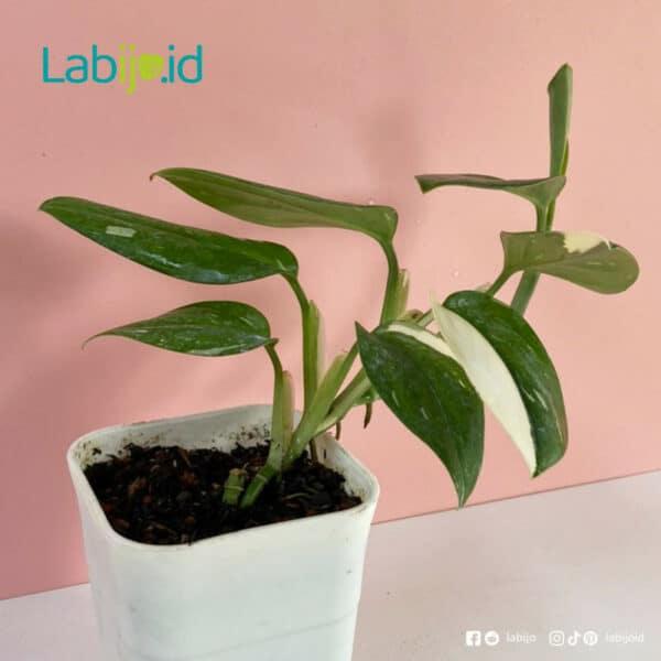 Monstera Standleyana plant details