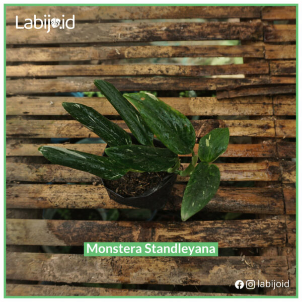 Monstera Standleyana for sale