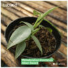 Great buy Philodendron Hastatum