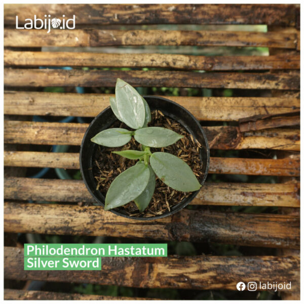 Philodendron Hastatum Silver Sword for sale