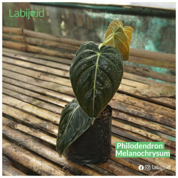 Best Philodendron Melanochrysum limited stocks