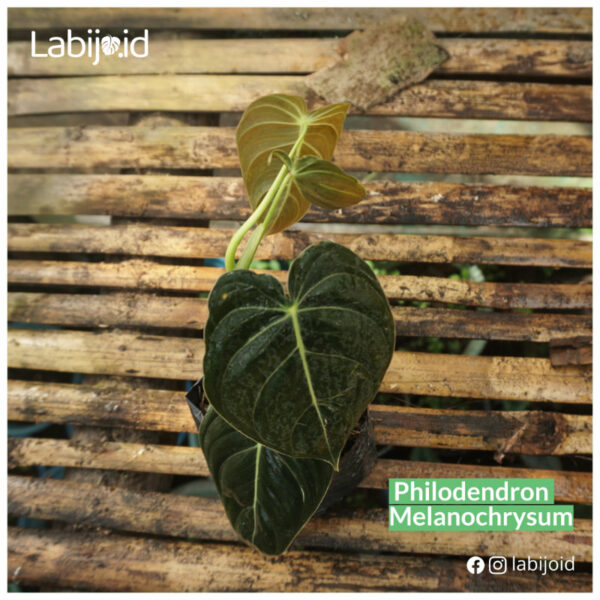 Philodendron Melanochrysum for sale