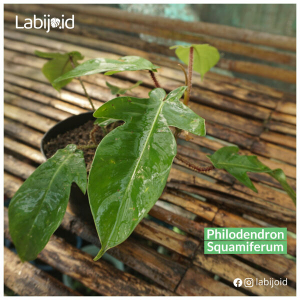 Best place to buy Philodendron Squamiferum