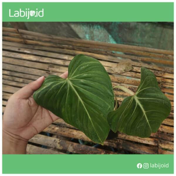 Rare Philodendron Gloriosum for sale
