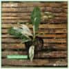 Affordable Spathiphyllum
