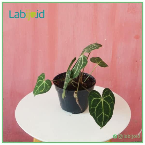 Anthurium clarinervium grow
