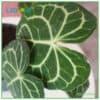 Anthurium clarinervium texture