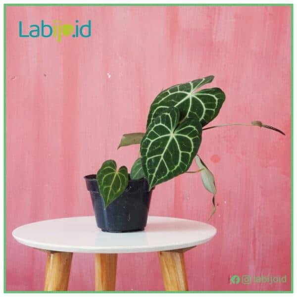 Anthurium clarinervium from Indonesia for sale
