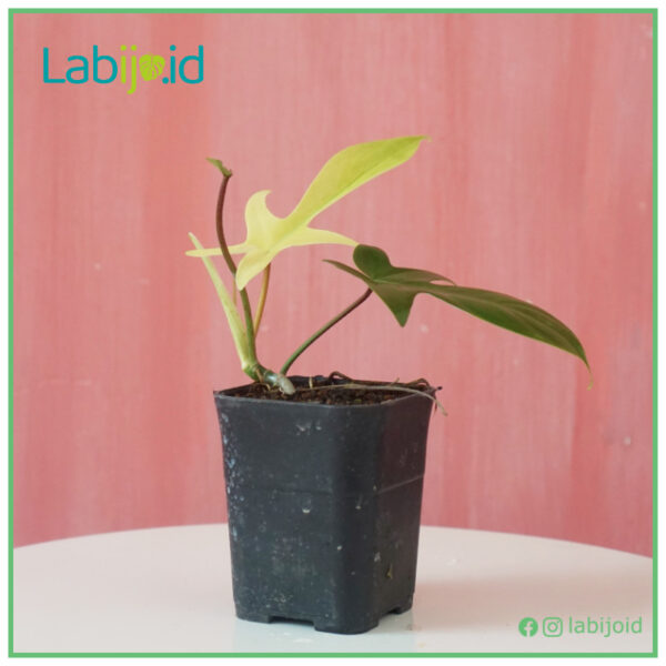 Philodendron Florida Ghost for sale