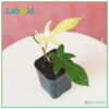 Philodendron Florida Ghost for urban jungle