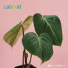Philodendron Gloriosum houseplant