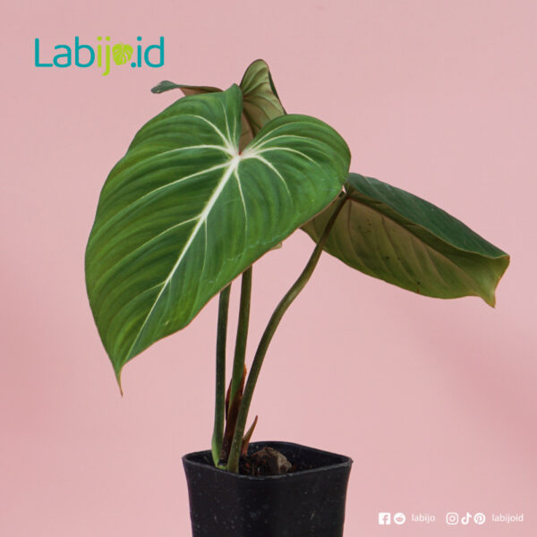 Philodendron Gloriosum from indonesia