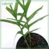 Rare Rhaphidophora tenuis