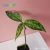 Aglaonema Pictum Tricolor on sale