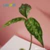 Aglaonema Pictum Tricolor foliage