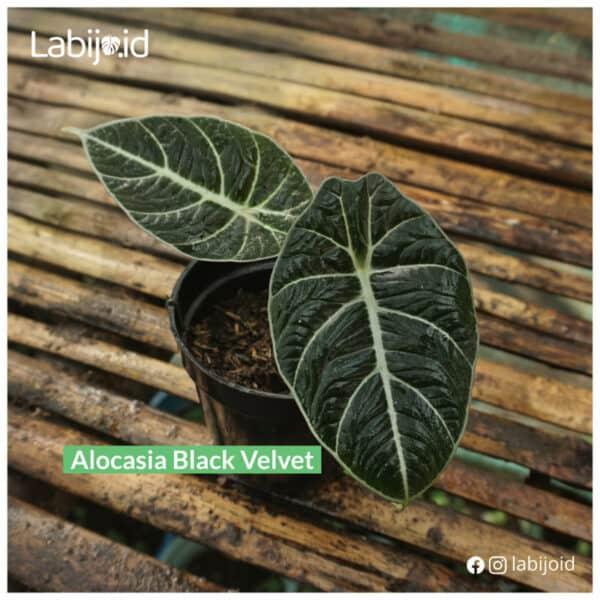 Exotic Alocasia Black Velvet is on sale!