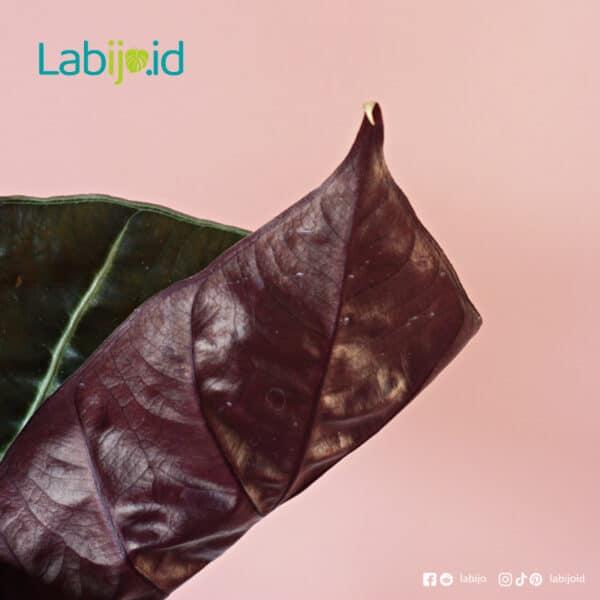 Alocasia Suhirmaniana leaf texture
