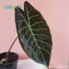 rare Alocasia Suhirmaniana for sale