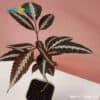 Leea Amabilis leaves healthy