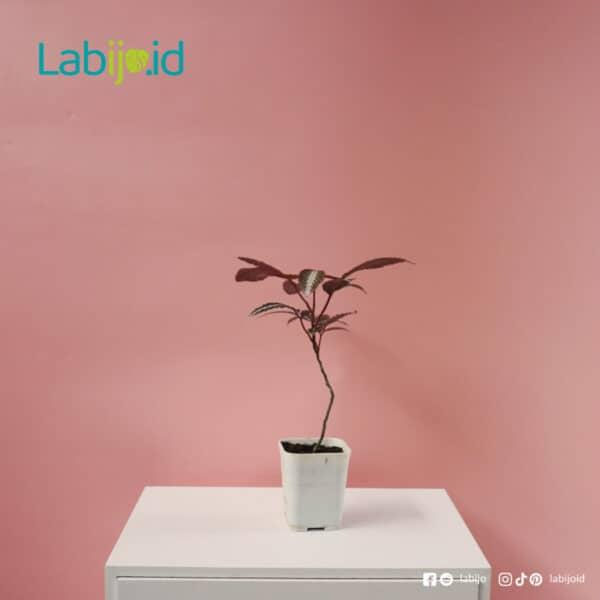 Leea Amabilis rare plants sale