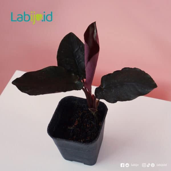 Schismatoglottis Black Metalic rare