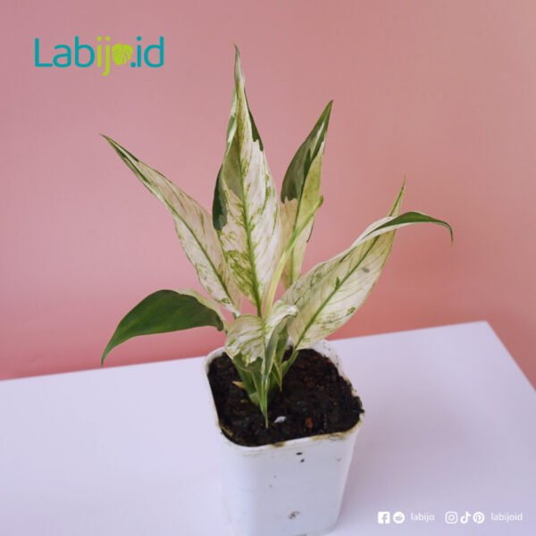 Peace lily Variegated rare sale