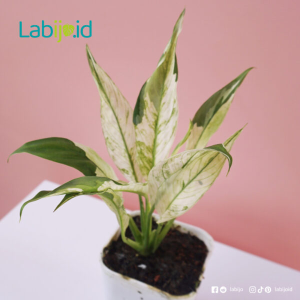 Peace lily Variegated care