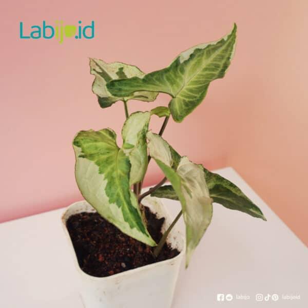 Syngonium Three King rare plants for sale