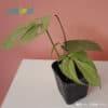 amydrium silver foliage beauty care tips