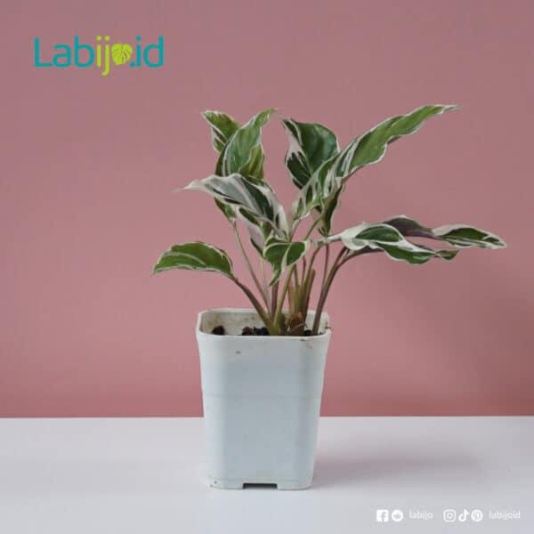Calathea Fusion White variegation exotic