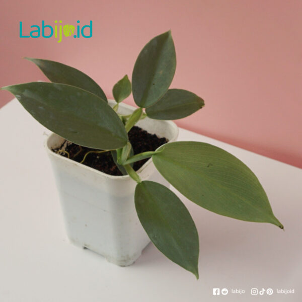buy Philodendron Hastatum rare plants