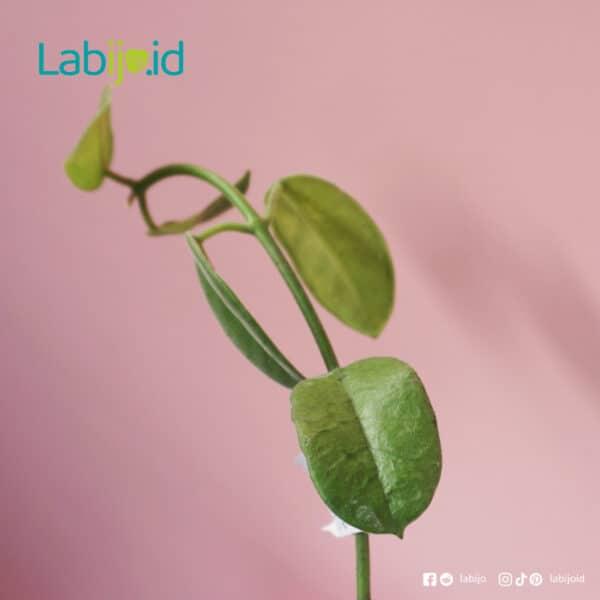 Hoya Coronation leaf