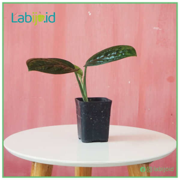 Monstera Karstenianum growing