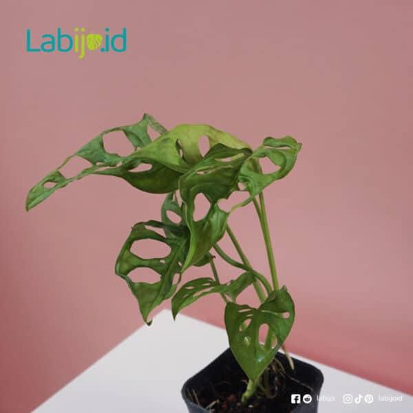 Monstera Acuminata for sale