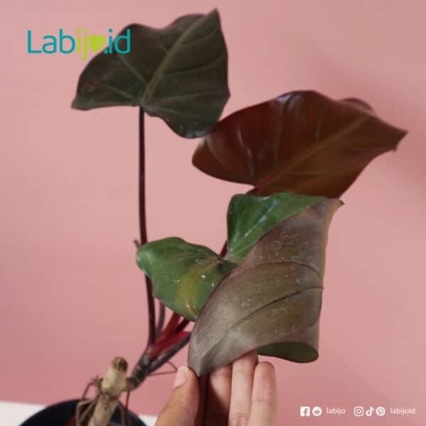 big rare Philodendron Dark Lord