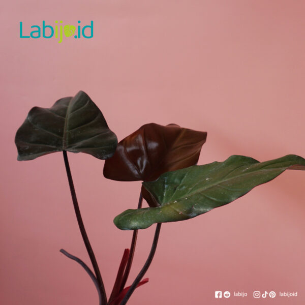 Philodendron Dark Lord care tips