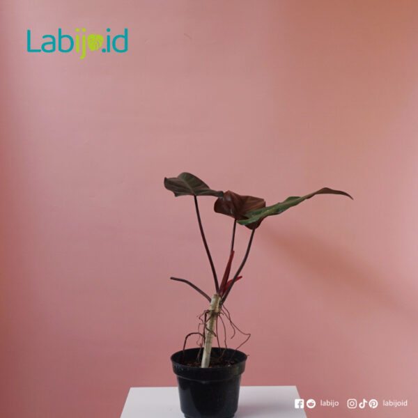 Philodendron Dark Lord for sale Indonesia