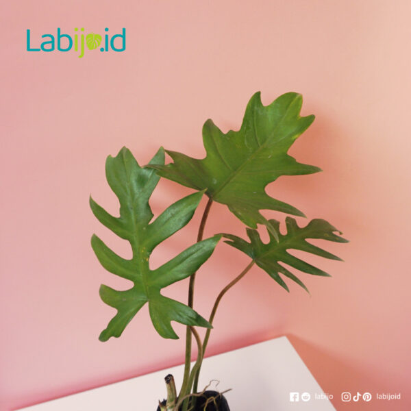 Philodendron Mayoi care tips