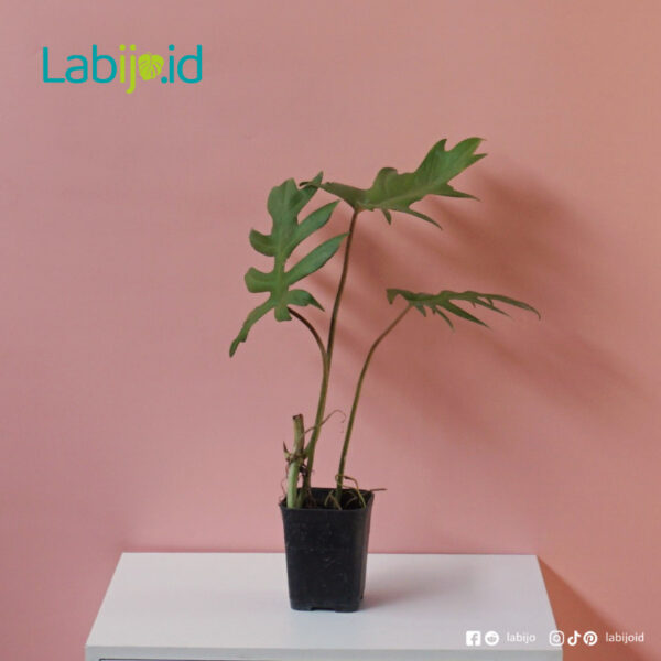 Philodendron Mayoi rare plants
