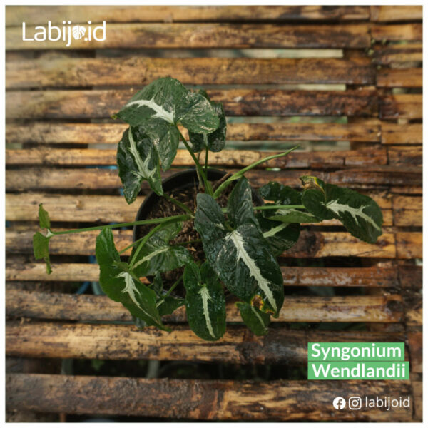 Beautiful Syngonium wendlandii from indonesia