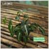 Syngonium wendlandii for sale