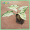 Syngonium Three King from Indonesia variegation