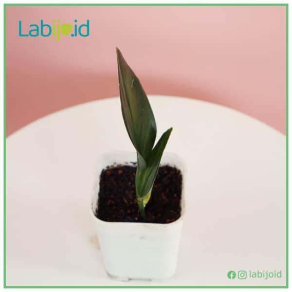rare Scindapsus Treubii Dark Form for sale