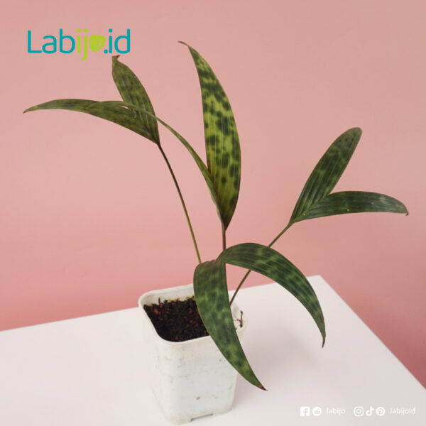 buy Palm Licuala Mapu