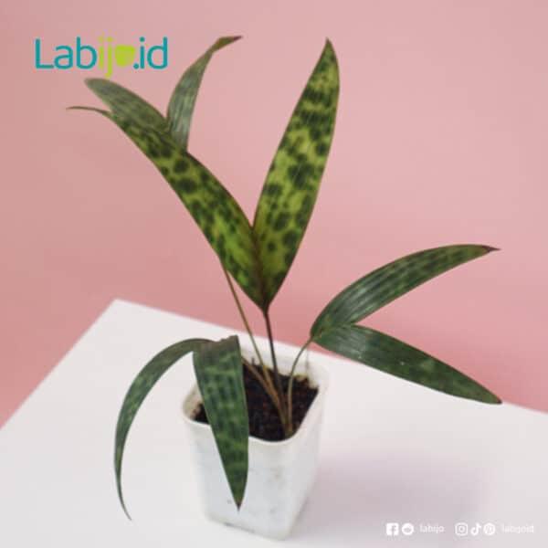 Palm Licuala Mapu for sale